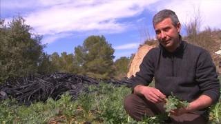 Els brotons, una verdura a recuperar al Penedès i el Garraf