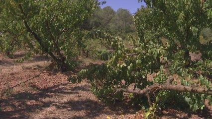 Pagesos del Baix Llobregat denuncien les destrosses que fan els senglars