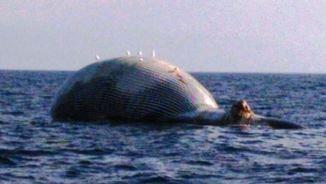 Una balena morta trobada davant les costes de Tossa de Mar