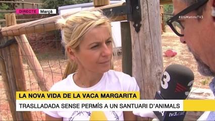 La vaca Margarita, la nova vida al santuari