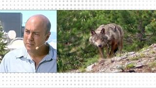 Els llops de Catalunya, uns animals no gaire estimats, vistos des d'una altra perspectiva