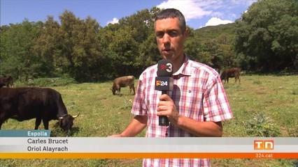 Projecte transfronterer per protegir i revaloritzar la vaca de l'Albera