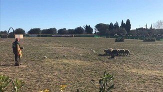 Abans de Nadal, cada ovella al seu corral
