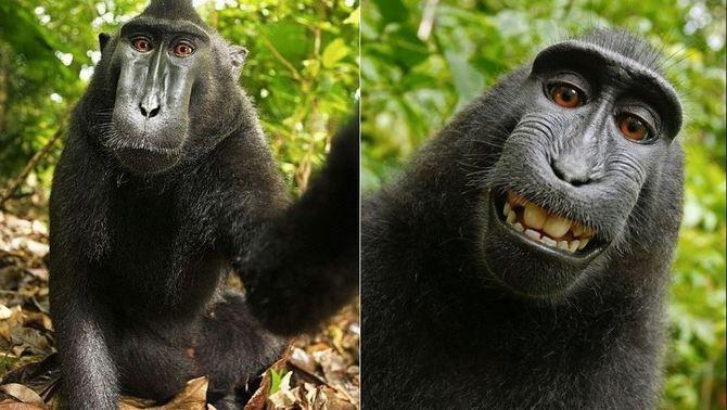 La selfie d'un macaco, a judici per aconseguir els drets d'autor per a l'animal