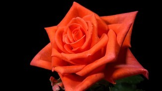 Una rosa, i moltes més flors, obrint-se!