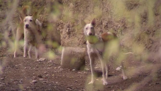 Ferit greu un ciclista per l'atac de cinc gossos a Miravet