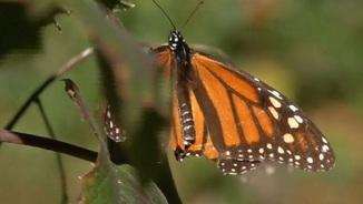 Papallona monarca a un bosc de Mèxic (Font: Reuters)