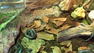 Neixen 38 anacondes al Bosc Inundat del Cosmocaixa