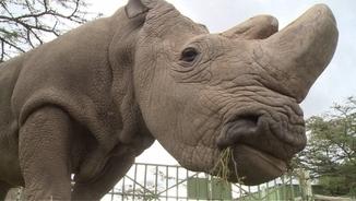 Imatge de Sudan, l'últim mascle de rinoceront blanc del nord, mort aquest dilluns