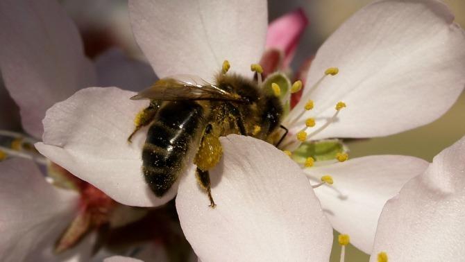 Creen el primer robot abella capaç de pol·linitzar