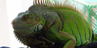 Dos buscadors de bolets troben una iguana de més d'un metre de llarg a la Garrotxa