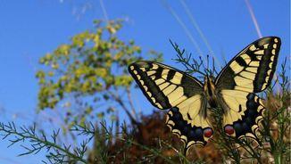 Exemplar de papallona a Arenys