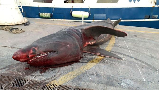 Pesquen un tauró pelegrí de gairebé 7 metres davant de Tarragona i el tornen al mar