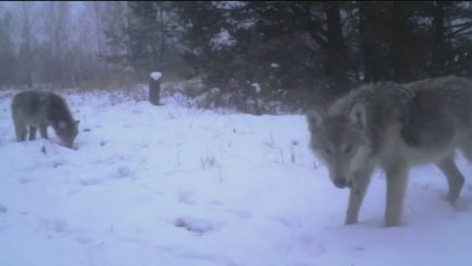 Txernòbil s'ha repoblat d'animals, 30 anys després