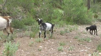 Un català, una cabra