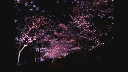 El paradís dels cirerers a la Xina