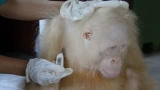 troba nom orangutana albina