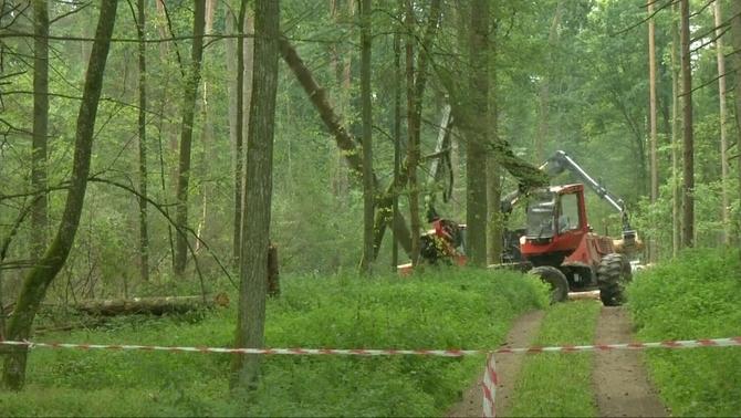 Polònia desafia Europa i seguirà talant arbres mil·lenaris del bosc de Bialowieza