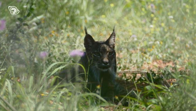 Capturat el linx ibèric vist la setmana passada a Catalunya