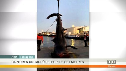 Capturen un tauró pelegrí de set metres