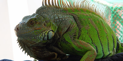 Una iguana en captivitat (Foto: Flickr / photostream)