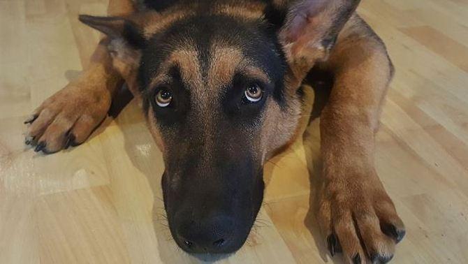La revetlla, un malson per als gossos: el 50% tenen fòbia als sorolls forts